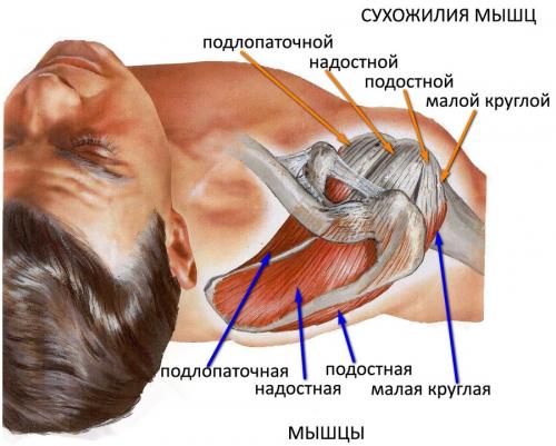 Сухожилия мышц плечевого